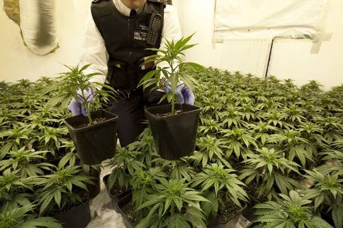 Droghe: cannabis factory